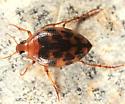 Crawling Water Beetle - Haliplus fasciatus