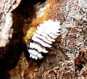 White Caterpillar