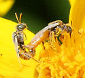 Bee - Perdita coreopsidis - male - female