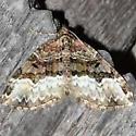Sharp-angled Carpet Moth - Euphyia intermediata