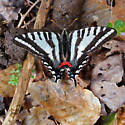 Tiger Swallowtail? - but what kind? - Eurytides marcellus