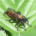 Orange and Black Robber Fly - Laphria aktis - male