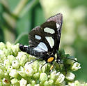 Eight-spotted Forester - Alypia octomaculata