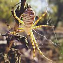 Amazing spider! - Argiope trifasciata
