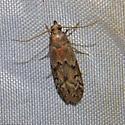 Moth 05.29.2009 044 - Vitula edmandsii