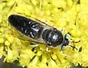 large wasp - Bembix amoena - male