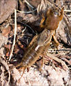 European Mole Cricket - Neocurtilla hexadactyla - male