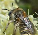 Oil Beetle larvae on Diadasia