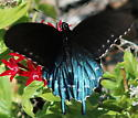 Turquoise Butterfly - Battus philenor