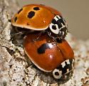 Mating Adalia, two colour forms! - Adalia bipunctata - male - female