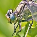 Horned Clubtail (Arigomphus cornutus) - Arigomphus cornutus - female