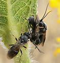 Wasps? - Chelonus