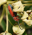 MIlkweed Beetle on Milkweed - Tetraopes texanus