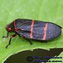 Two-lined Spittlebug - Prosapia bicincta