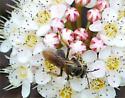 a bee - Andrena crataegi - female