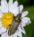 Yellow Velvet Beetle - Stenocorus vestitus - female