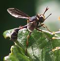 thick-headed fly - Physocephala sagittaria