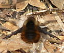 Greater Bee Fly - Bombylius major