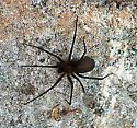 Brown Recluse - Loxosceles reclusa - female