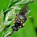 fly - Dalmannia nigriceps
