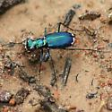 Eastern Red-bellied Tiger Beetle - Cicindelidia rufiventris