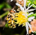Fly - Eristalis transversa - female