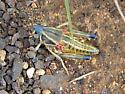 Tyger's Blue Plains Lubber Grasshopper - Brachystola magna - female