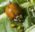 Multicolored Asian Beetle Harmonia axyridis eating aphids - Harmonia axyridis