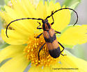 Long horned Beetle - Parevander hovorei