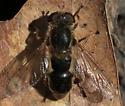 Syrphid Fly - Lejops bilinearis