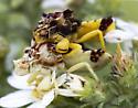 Jagged Ambush Bug - Phymata americana - male - female