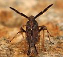 bug with fancy antennae - Copicerus irroratus