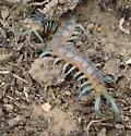 Centipede - Scolopendra polymorpha