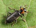 Clerid - Placopterus thoracicus