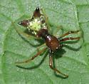 Arrowshaped Micrathena - Micrathena sagittata - female