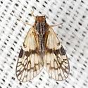 Cixiid Planthopper - Bothriocera maculata