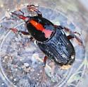 Red Palm Weevil, Rhynchophorus ferrugineus (Olivier) (Coleopetera: Curculionidae) - Rhynchophorus ferrugineus