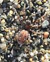 Orange and black spider - Arctosa perita