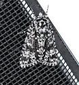 Night-wandering Dagger Moth - Acronicta noctivaga