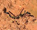 wasp - Sceliphron caementarium - female