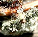 Lichen Bug
