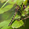 Female Clubtail dragonfly - Stylurus scudderi - female