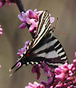 Swallowtail on Redbud - Eurytides marcellus