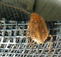brown bug - Ectobius pallidus