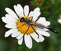 Thread waisted wasp on an oxeye daisy - Ammophila procera