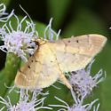 Moth - Herpetogramma bipunctalis