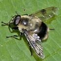 Bumblebee mimic? - Volucella bombylans-complex