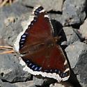 Nymphalidae: Nymphalis antipoda - Nymphalis antiopa