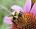 all yellow bumble bee - Bombus fervidus