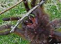 Texas Brown Tarantula - Aphonopelma hentzi